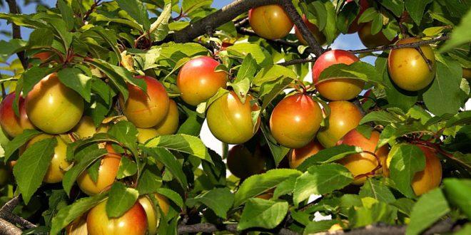 Алыча. Описание растения и его выращивание